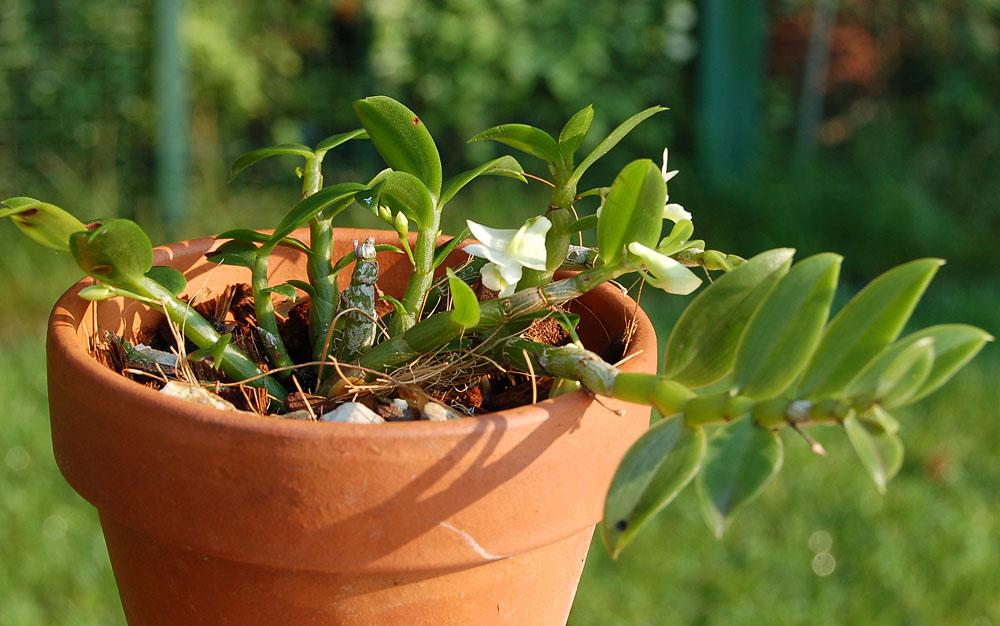 http://www.kammlott.net/August2009/Denoligophyllumpl.jpg