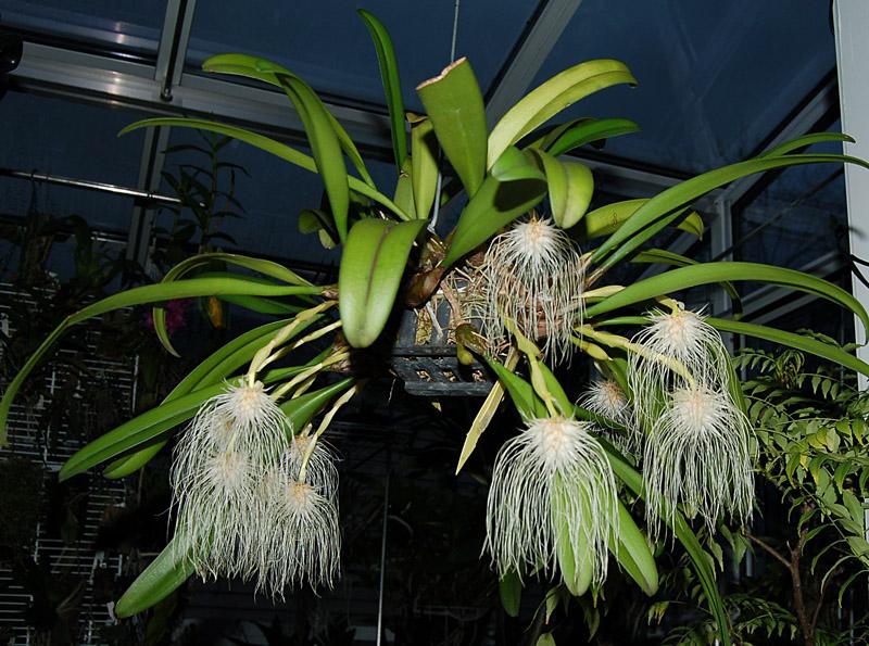 http://www.kammlott.net/Dec2008/Bulbomedusaepl2.jpg