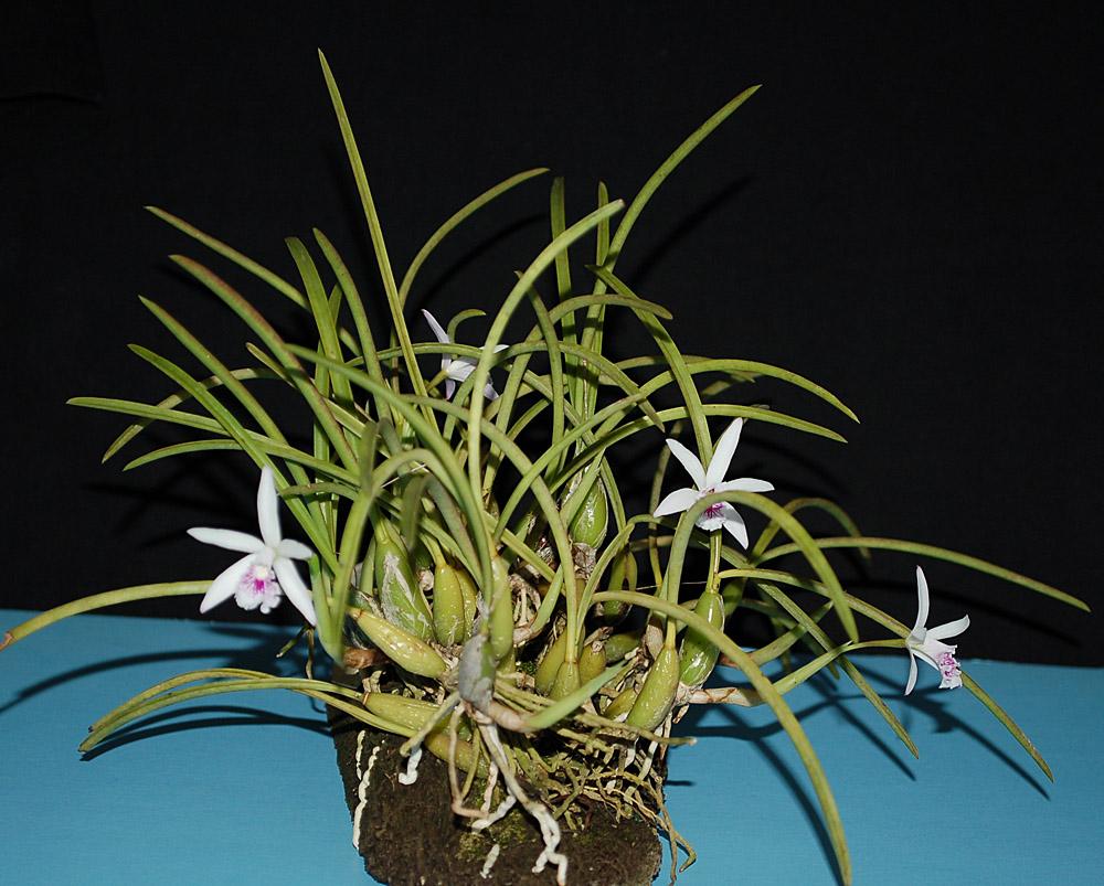 http://www.kammlott.net/Febr2010/Laelialundii4flpl2.jpg