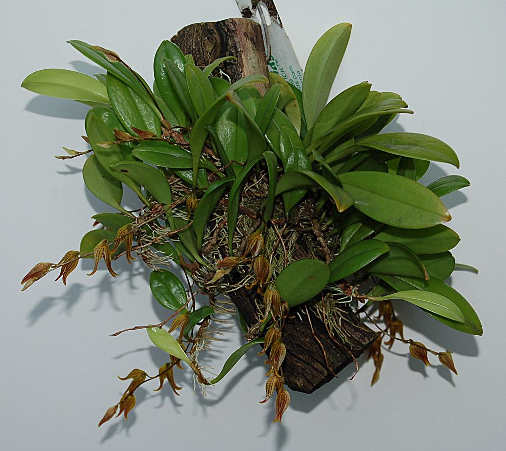 http://www.kammlott.net/Jan2010/Pleurotripteranthapl.jpg