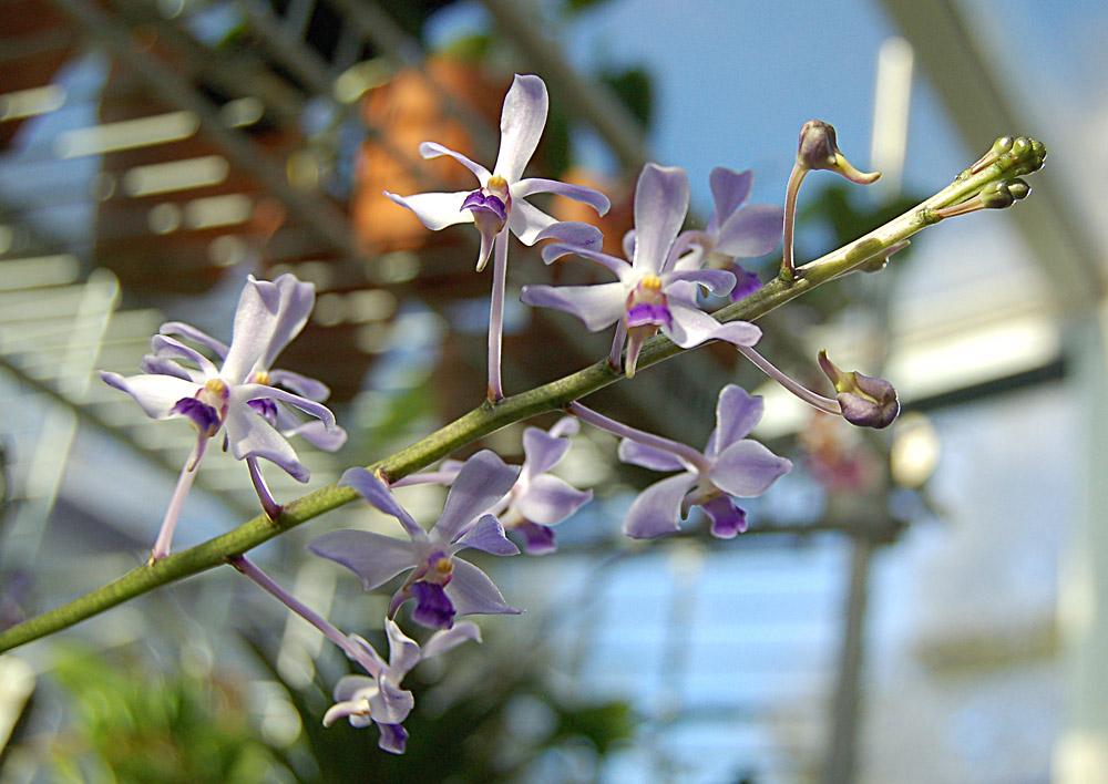 http://www.kammlott.net/Jan2010/Vcoerulescenssp.jpg