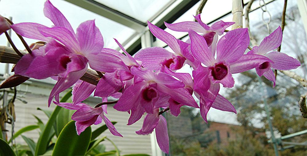 Dendrobium parishii × Dendrobium anosmum Dendrobium Nestor