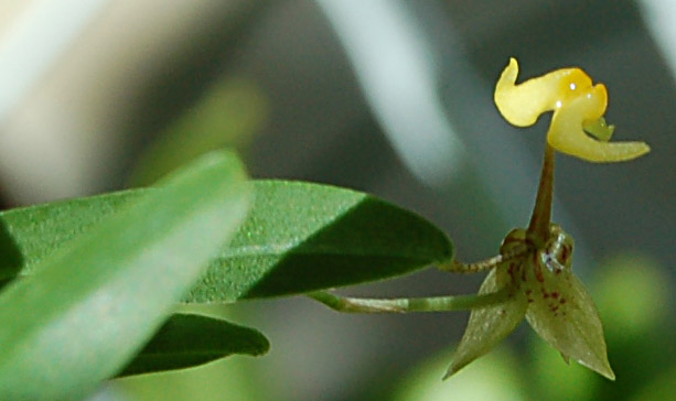 http://www.kammlott.net/Oct2008/Sigmaunguiculatafltop.jpg